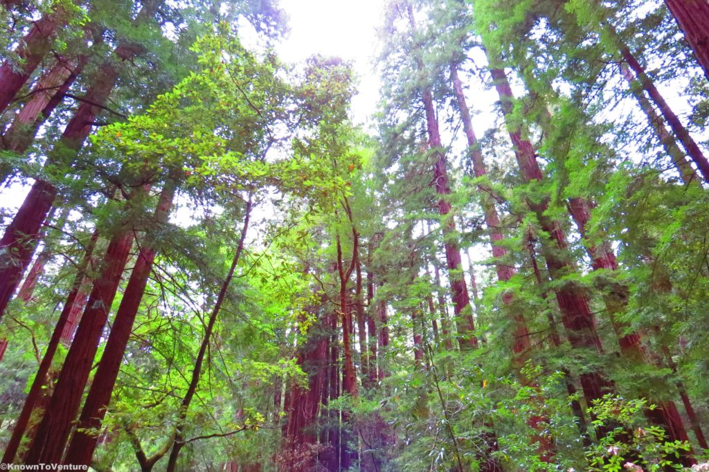 Redwood Forest - Muir Woods National Monument - California Road Trip www.knowntoventure.com